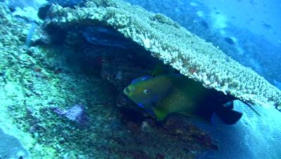 Semicircle angelfish (Pomacanthus semicirculatus) cleaned