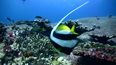 Longfin bannerfish (Heniochus acuminatus)