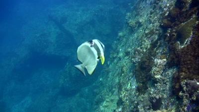 Tall-fin batfish (Platax teira) bitten