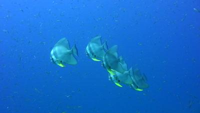 Tall-fin batfish (Platax teira) close up