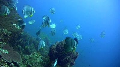 Tall-fin batfish (Platax teira) in school around barrel sponge