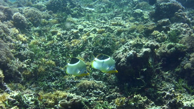 Saddled butterflyfish (Chaetodon ephippium)