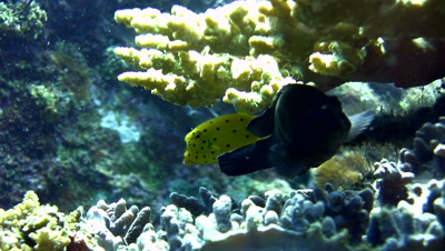 Yellow boxfish (Ostracion cubicus),juvenile