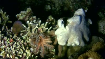 Sponge crab (Dromia dormia) carying crown-of-thorns starfish