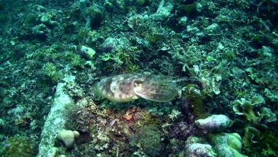 Broadclub cuttlefish (Sepia latimanus) changing color