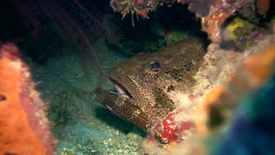 Brown-marbeled or malabar grouper (Epinephelus malabaricus) close up