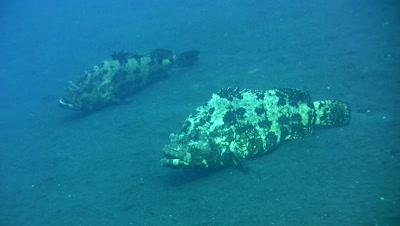 Brown-marbeled or malabar grouper (Epinephelus malabaricus) on the sand