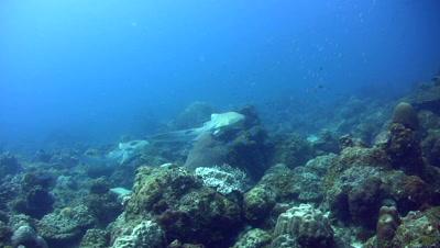 Zebra or Leopard shark (Stegostoma fasciatum) swimming after each other,mating