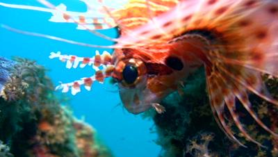 Spotfin lionfish (Pterois antennata) close up