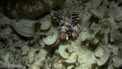 Shortfin lionfish (Dendrochirus brachypterus) swimming