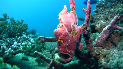 Giant frogfish (Antennarius commerson) opening mouth