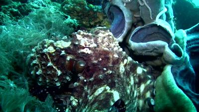 Common reef octopus (Octopus cyanea) crawling