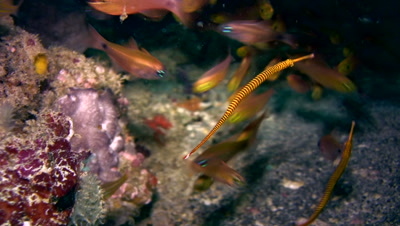 Yellow banded pipefish (Doryrhamphus pessuliferus)