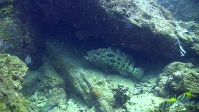 Brown-marbeled or malabar grouper (Epinephelus malabaricus) opening mouth