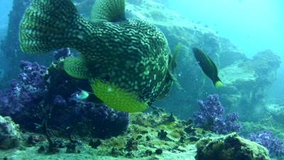 Map pufferfish (Arothron mappa) eating soft coral