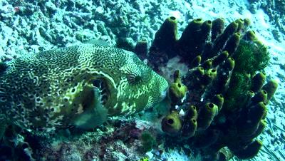 Map pufferfish (Arothron mappa) eating sponge