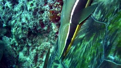 Remora or suckerfish on green sea turtle shell