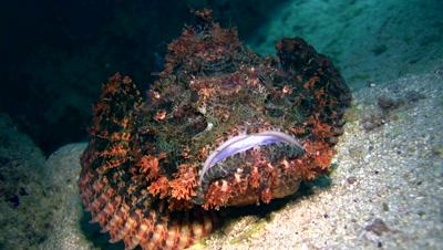 Scorpionfish moving slowly