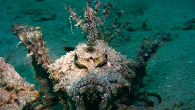 Spiny devilfish (Inimicus didactylus) crawling close up