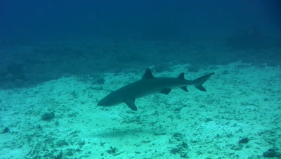 Whitetip reef shark (Triaenodon obesus) swimming