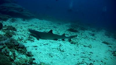 Whitetip reef shark (Triaenodon obesus) swimming with divers