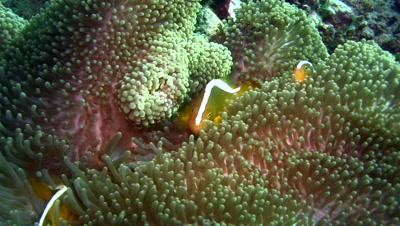 Skunk anemonefish (Amphiprion sandaracinos) in anemone