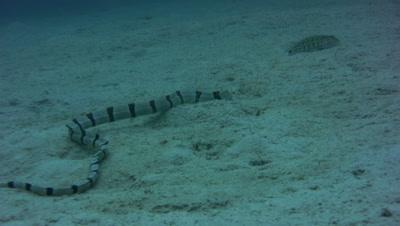 Banded snake eel (Myrichthys colubrinus) digging the sand