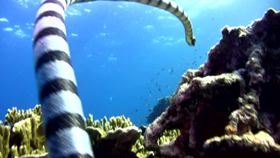 Banded sea krait (Laticauda colubrina) swimming up