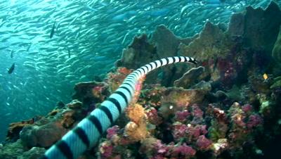 Banded sea krait (Laticauda colubrina) swimming up to school of sardines