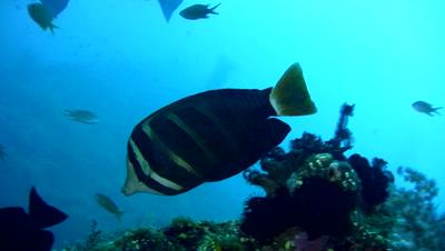 Pacific sailfin tang (Zebrasoma veliferum)