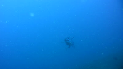 Dogtooth tuna (Gymnosarda unicolor) passing close by