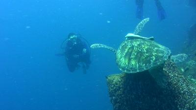 Green sea turtle (Chelonia mydas) landing in barrel sponge