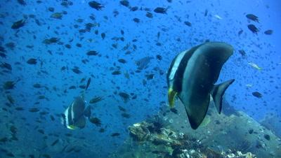 Tall-fin batfish on top of sugar wreck,amazing visibility