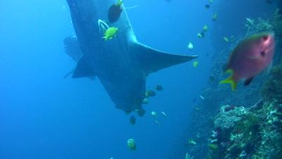 Oceanic sunfish (Mola mola) cleaned by Blacklip butterflyfish (Chaetodon kleinii)