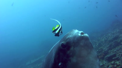 Oceanic sunfish (mola-mola) being cleaned by bannerfishes,close up mouth