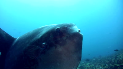 Oceanic sunfish (mola-mola) from side to side