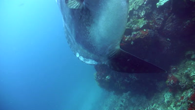 Oceanic sunfish (mola-mola) with school of fusilier in background,tilt up