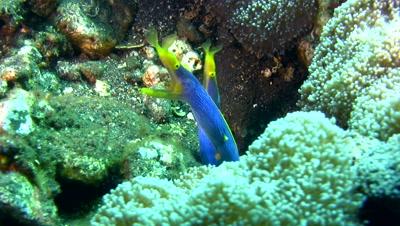 2 blue ribbon eel (Rhinomuraena quaesita) sharing the same hole