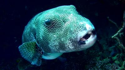 Star or Starry pufferfish (Arothron stellatus) close up