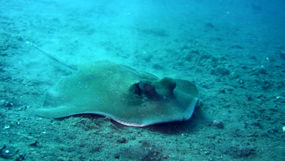 Blue-spotted stingray (Dasyatis kuhlii) searching for prey in the sand