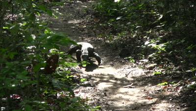 Komodo dragon walking