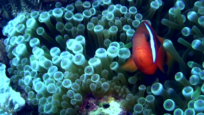 Tomato or Bridled anemonefish (Amphiprion frenatus) in bubble anemone