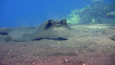 Blue-spotted stingray (Dasyatis kuhlii) digging the sand