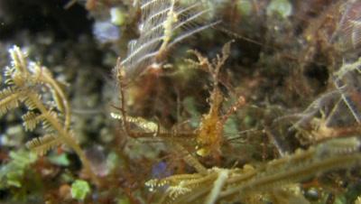 Spiny spider crab (Achaeus spinosus)