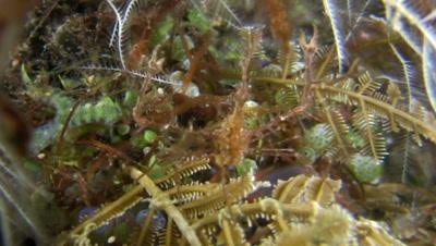 Spiny spider crab (Achaeus spinosus) catching prey