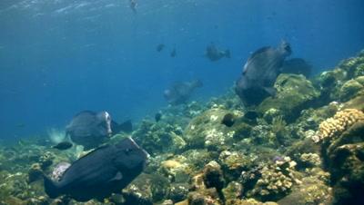 Humphead or bumphead parrotfish (Bolbometopon muricatum) group