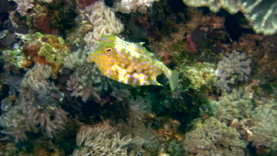 Thorny-back cowfish (Lactoria fornasini)