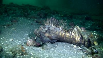 Spiny devilfish (Inimicus didactylus)
