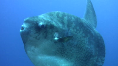 Oceanic sunfish (mola-mola)