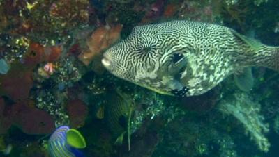 Map pufferfish (Arothron mappa)